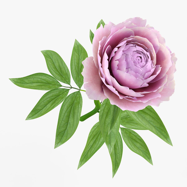 3d model peony - Peony 1... by ms_Dessi