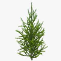 maya pine tree