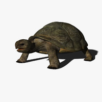 Turtle Hermanni(1)