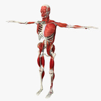 3d human bone muscle structure model