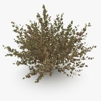 Physocarpus Opolifolius