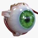 Retina 3D models