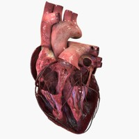 heart anatomy 3d max