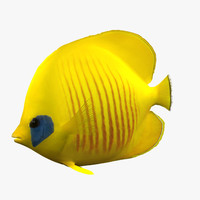 Bluecheek Butterfly Fish