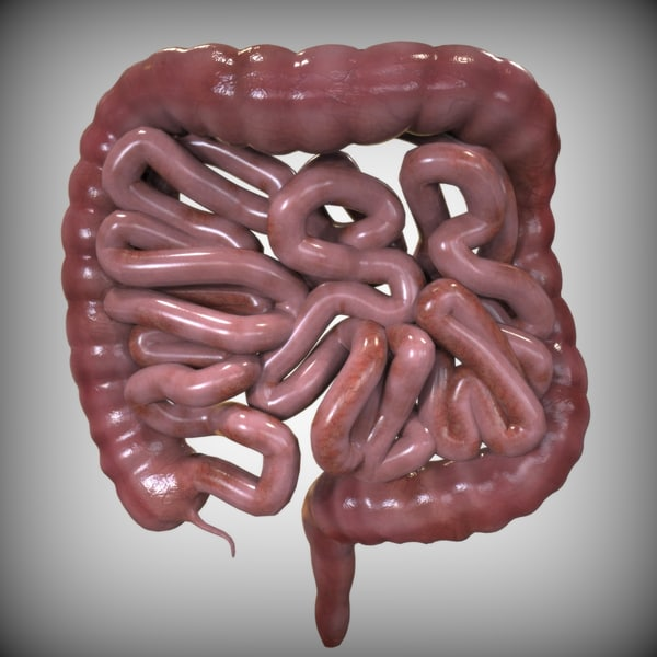 3ds intestine - Human ...