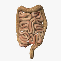 3d model of human intestine