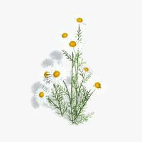 max camomile plants