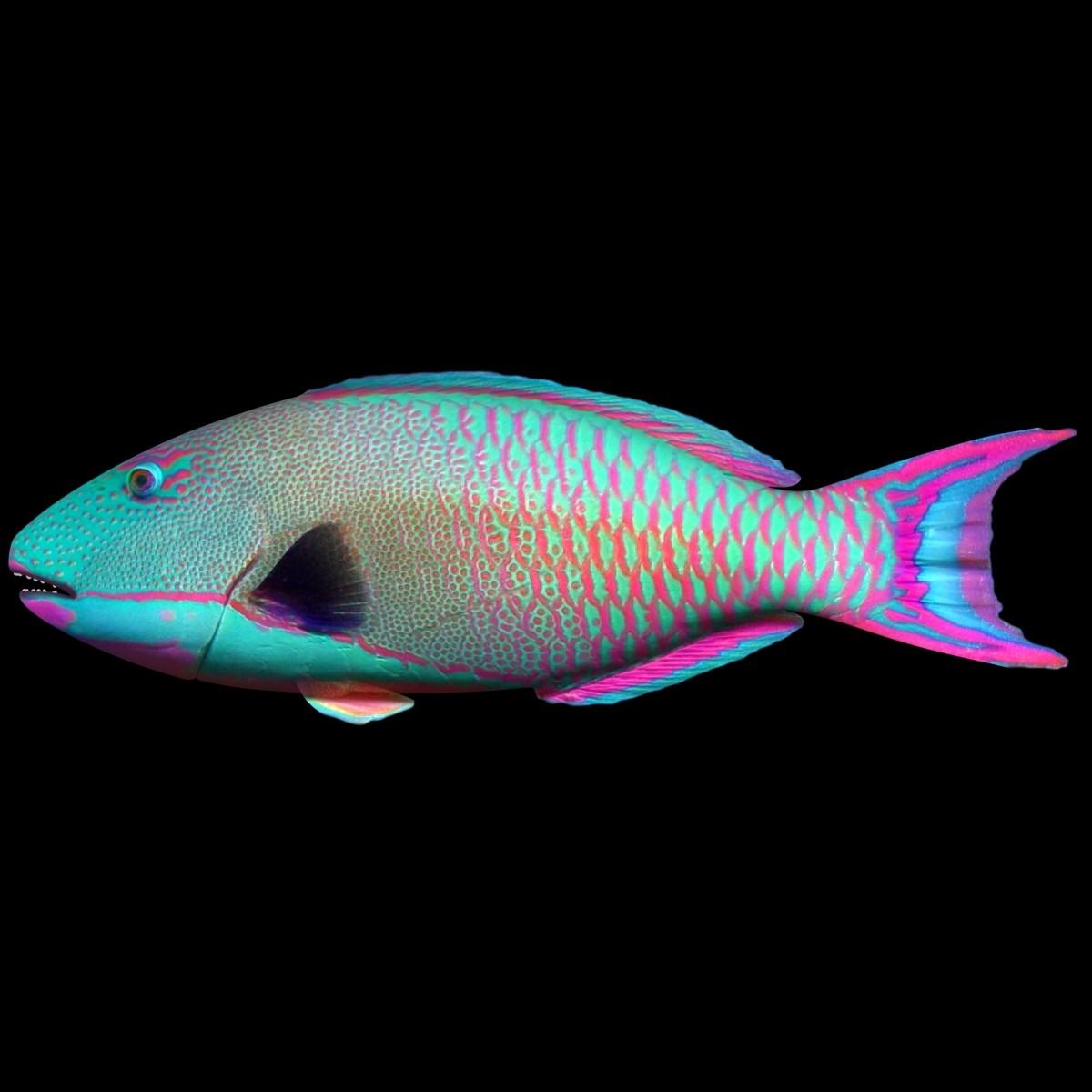 Bicolor-Parrotfish_Rr_02.jpg