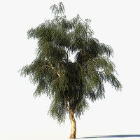 3d model eucalyptus tree