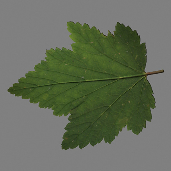 Currants leaf_thumbnail1.jpg