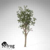 XfrogPlants Bluegum Eucalyptus