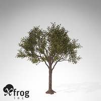 XfrogPlants Rubber tree