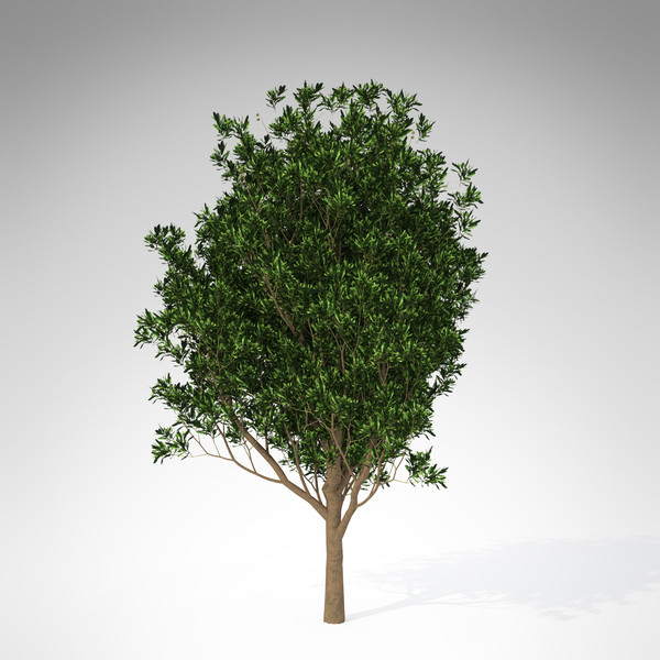 3d model xfrogplants macadamia tree tropical plant - XfrogPlants Macadamia... by xfrog