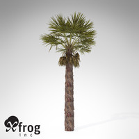 chinese windmill palm 3d model