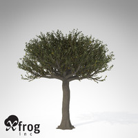XfrogPlants Forest Sandpaper Fig