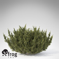 XfrogPlants African Boxwood