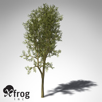 max xfrogplants yellowwood tree