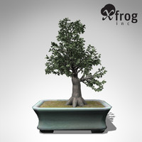 xfrogplants bonsai smooth-leaved elm 3d max