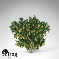 3d lwo xfrogplants blossoming golden chain
