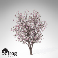 3d xfrogplants blossoming saucer magnolia