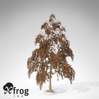XfrogPlants Autumn Bald Cypress