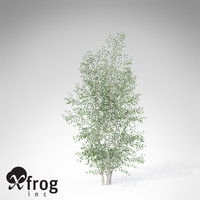 XfrogPlants Grey Birch