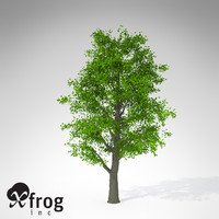 XfrogPlants Littleleaf Linden