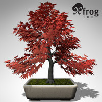 xfrogplants bonsai japanese maple 3d model