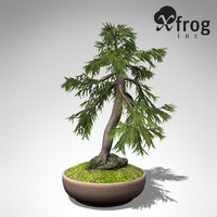 XfrogPlants Bonsai Japanese White Larch