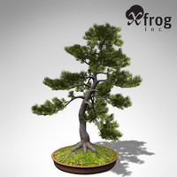 XfrogPlants Bonsai Japanese White Pine