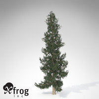 XfrogPlants Colorado Blue Spruce