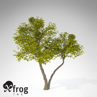 XfrogPlants Umbrella Magnolia