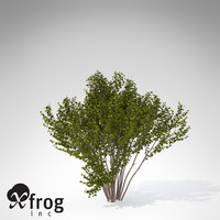 3d xfrogplants hazel shrub model