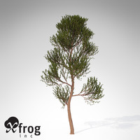 xfrogplants scotch pine tree 3d model
