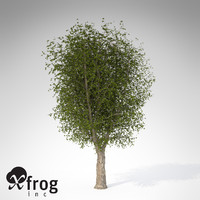 xfrogplants oriental planetree tree 3d model
