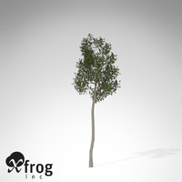 xfrogplants lodgepole pine tree 3d model