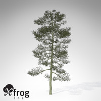 3d model xfrogplants bishop pine tree