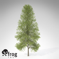 xfrogplants tuliptree tree 3d model