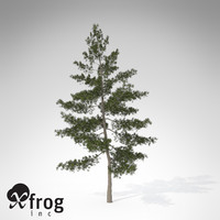 XfrogPlants Eastern White Pine