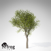 XfrogPlants Field Maple