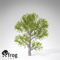 XfrogPlants Montpellier Maple