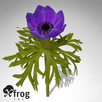 XfrogPlants Poppy Anemone