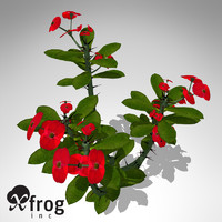 XfrogPlants Crown-of-Thorns