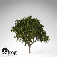 XfrogPlants Mango Tree FR