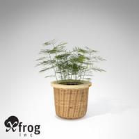 maya xfrogplants asparagus fern plant