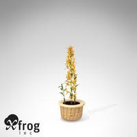 max xfrogplants dendrobium nobile plant