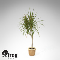 XfrogPlants Red-Edge Dracaena