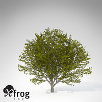 xfrogplants nikko maple tree 3d 3ds