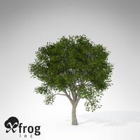 XfrogPlants Amur Corktree