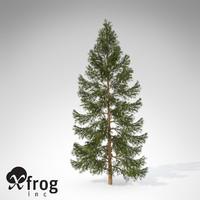 XfrogPlants Koyama Spruce